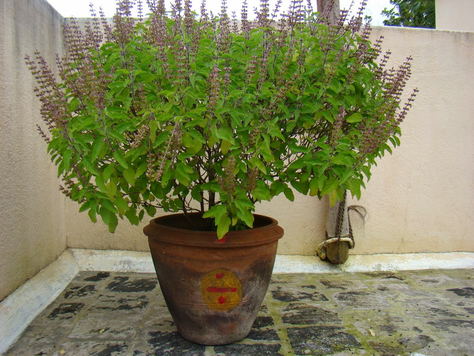 Indian Scientists Decode Tulsi Plant